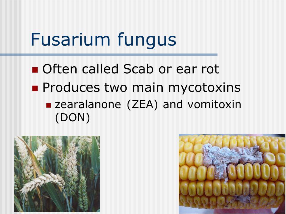 Aspergillus flavis Extremely common mold produces aflatoxin (a mycotoxin) Aflatoxins cause: liver damage decreased egg, milk production Maximum Levels