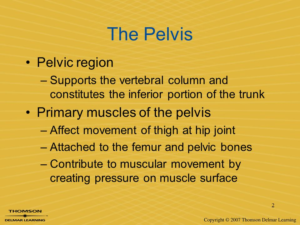 2 The Pelvis Pelvic region –Supports the vertebral column and constitutes the inferior portion of the trunk Primary muscles of the pelvis –Affect move