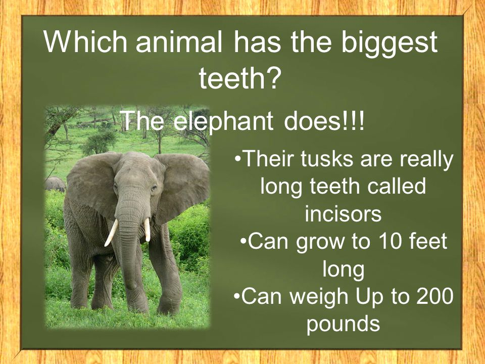 Which animal has the biggest teeth? The elephant does!!! Their tusks are really long teeth called incisors Can grow to 10 feet long Can weigh Up to 20