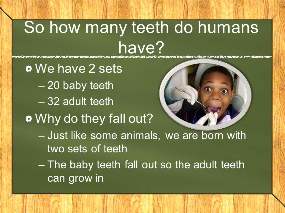 So how many teeth do humans have? We have 2 sets –20 baby teeth –32 adult teeth Why do they fall out? –Just like some animals, we are born with two se