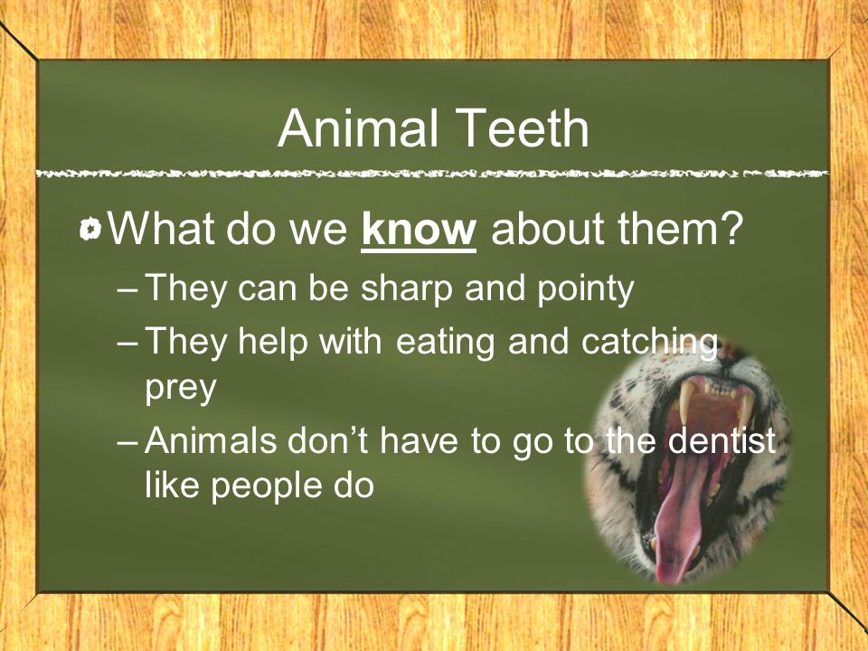 Animal Teeth What do we know about them? –They can be sharp and pointy –They help with eating and catching prey –Animals don't have to go to the denti