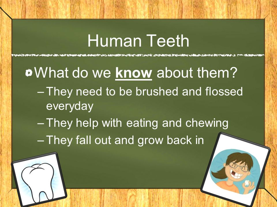 Human Teeth What do we know about them? –They need to be brushed and flossed everyday –They help with eating and chewing –They fall out and grow back