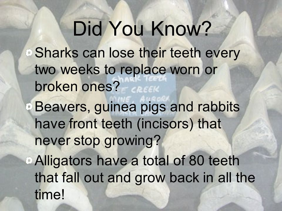 How are animal teeth different from human teeth.