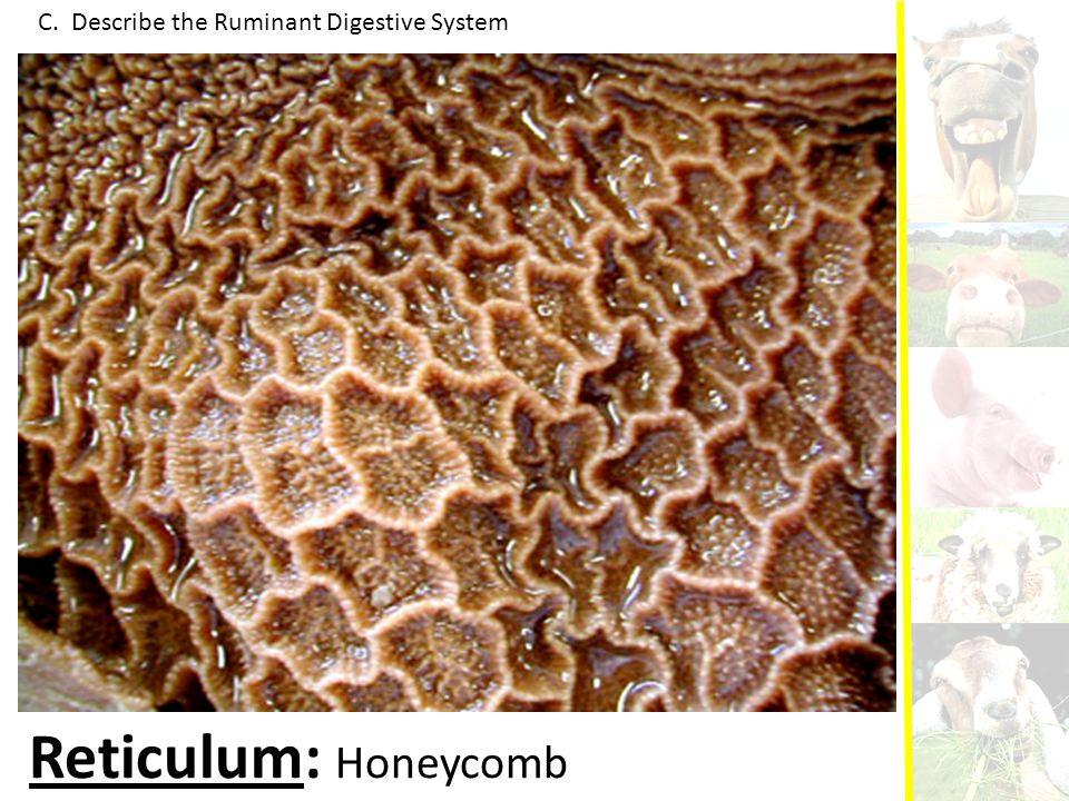C. Describe the Ruminant Digestive System Reticulum: Honeycomb