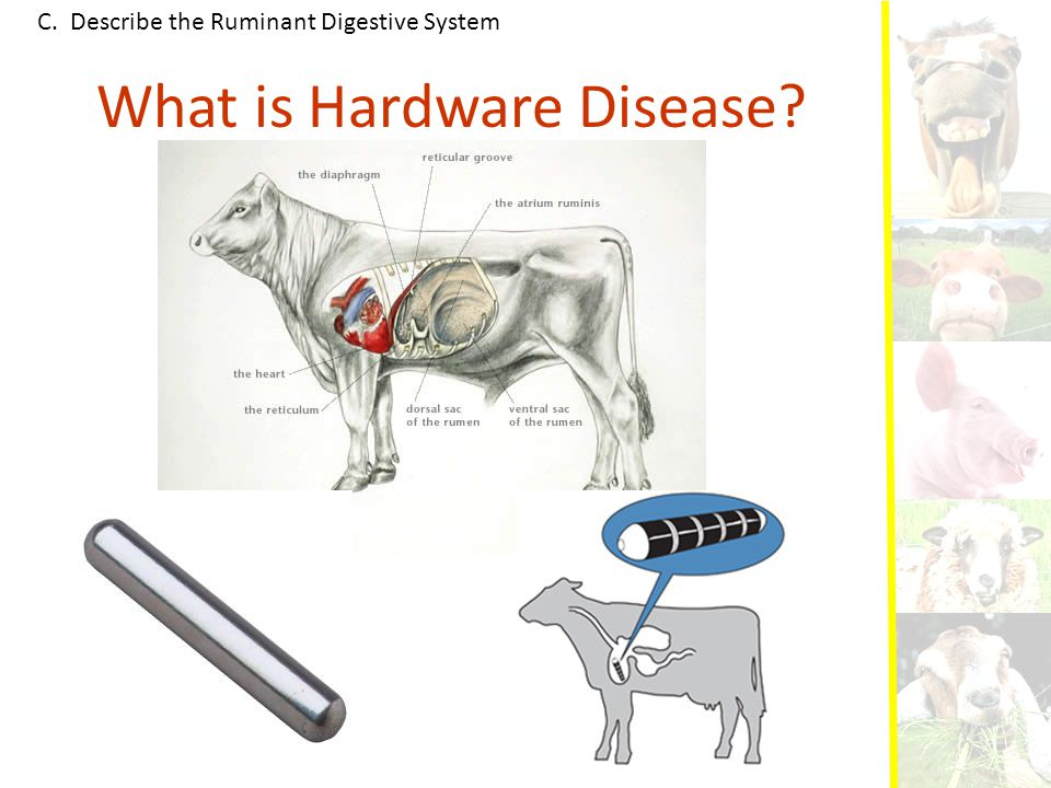 C. Describe the Ruminant Digestive System What is Hardware Disease?