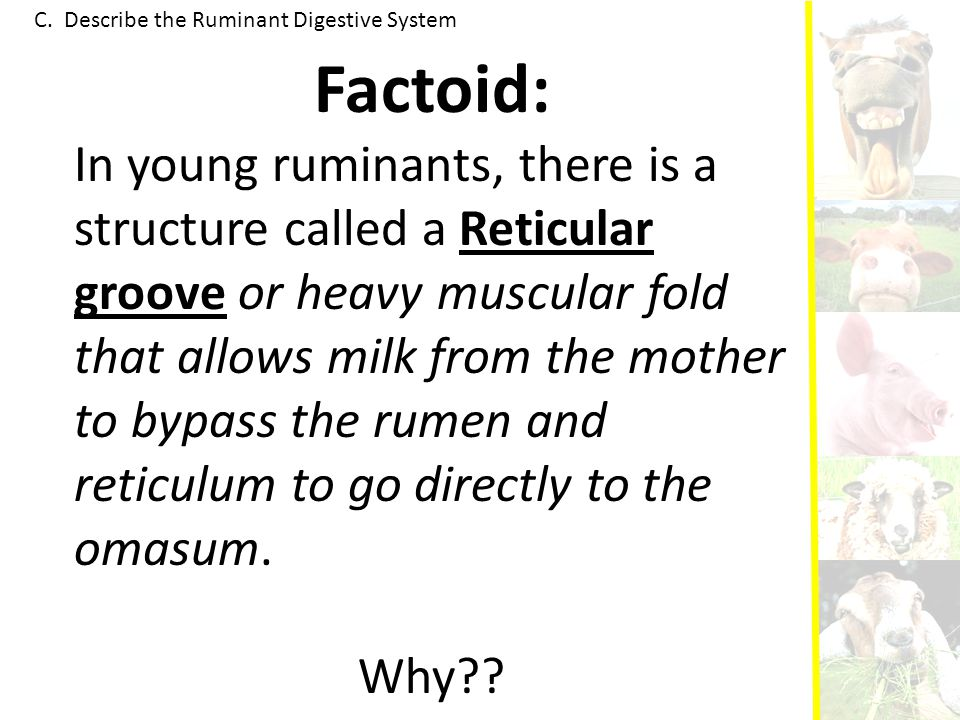 C. Describe the Ruminant Digestive System Factoid: In young ruminants, there is a structure called a Reticular groove or heavy muscular fold that allo