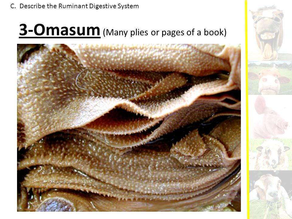 C. Describe the Ruminant Digestive System 3-Omasum (Many plies or pages of a book)