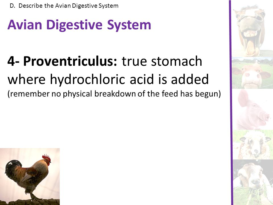 D. Describe the Avian Digestive System Avian Digestive System 4- Proventriculus: true stomach where hydrochloric acid is added (remember no physical b