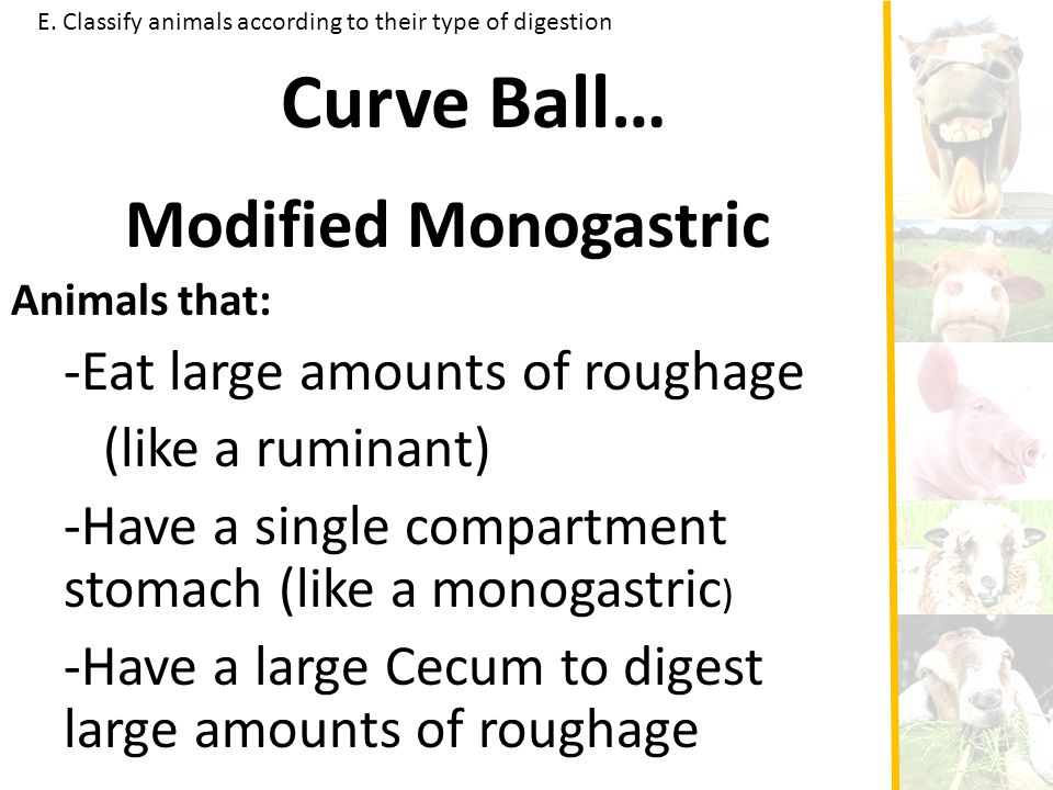 E. Classify animals according to their type of digestion Curve Ball… Modified Monogastric Animals that: -Eat large amounts of roughage (like a ruminan