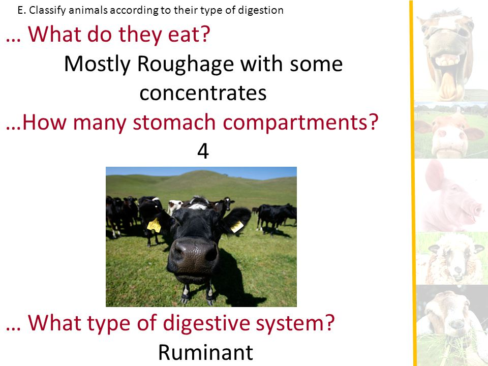E. Classify animals according to their type of digestion … What do they eat? Mostly Roughage with some concentrates …How many stomach compartments? 4