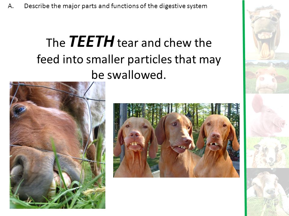 The TEETH tear and chew the feed into smaller particles that may be swallowed. A.Describe the major parts and functions of the digestive system