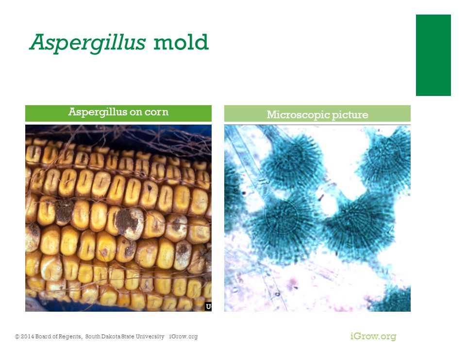 iGrow.org Aspergillus mold © 2014 Board of Regents, South Dakota State University iGrow.org Aspergillus on corn Microscopic picture