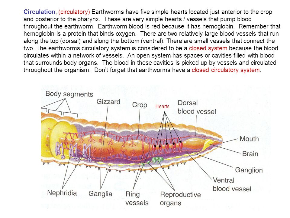 Circulation, (circulatory) Earthworms have five simple hearts located just anterior to the crop and posterior to the pharynx. These are very simple he