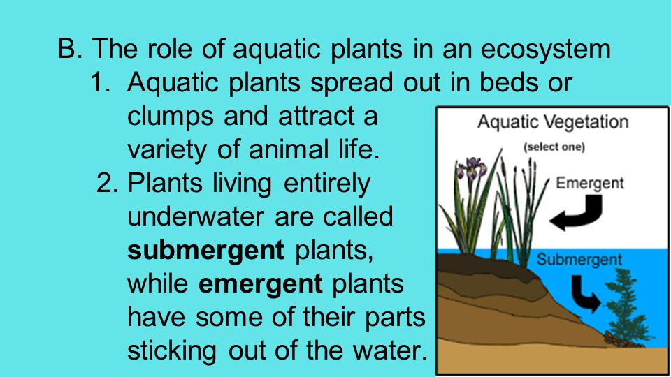 B. The role of aquatic plants in an ecosystem 1.