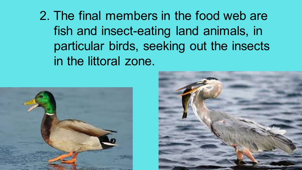 2. The final members in the food web are fish and insect-eating land animals, in particular birds, seeking out the insects in the littoral zone.