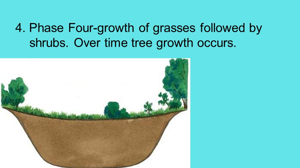 4. Phase Four-growth of grasses followed by shrubs. Over time tree growth occurs.