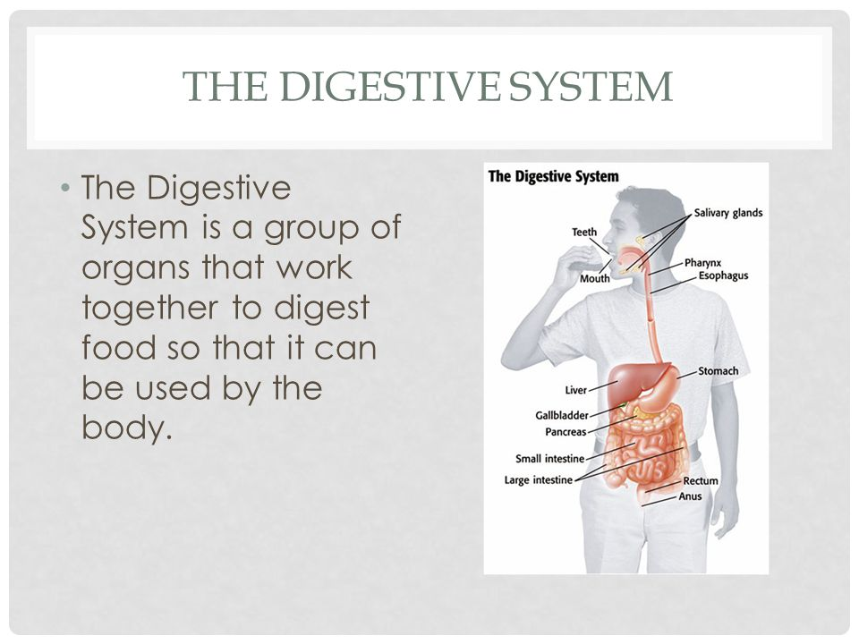 ORGANS OF THE DIGESTIVE SYSTEM The digestive tract is a series of tubelike organs which food passes through.