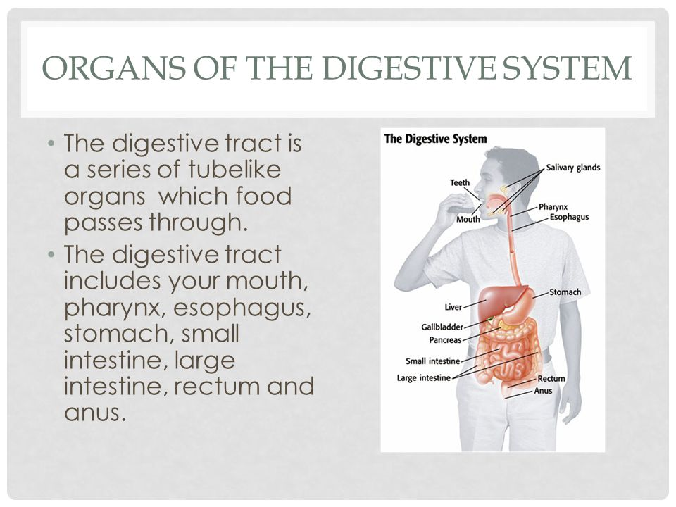 DIGESTION BEGINS IN THE MOUTH Chewing creates small, slippery pieces of food that are easier to swallow.