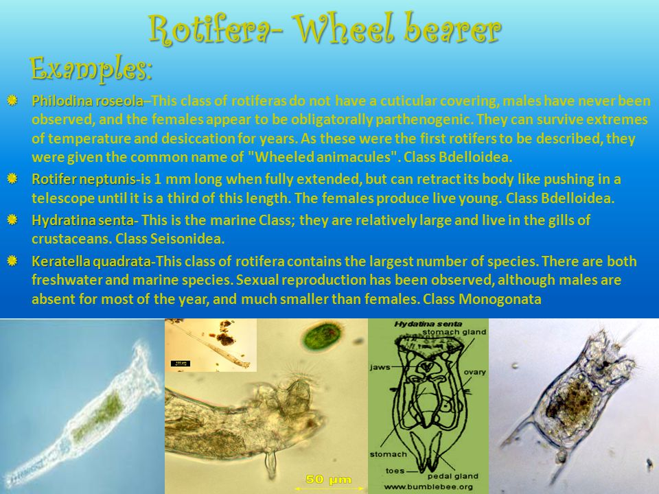 Rotifera- Wheel bearer Philodina roseola Philodina roseola–This class of rotiferas do not have a cuticular covering, males have never been observed, a