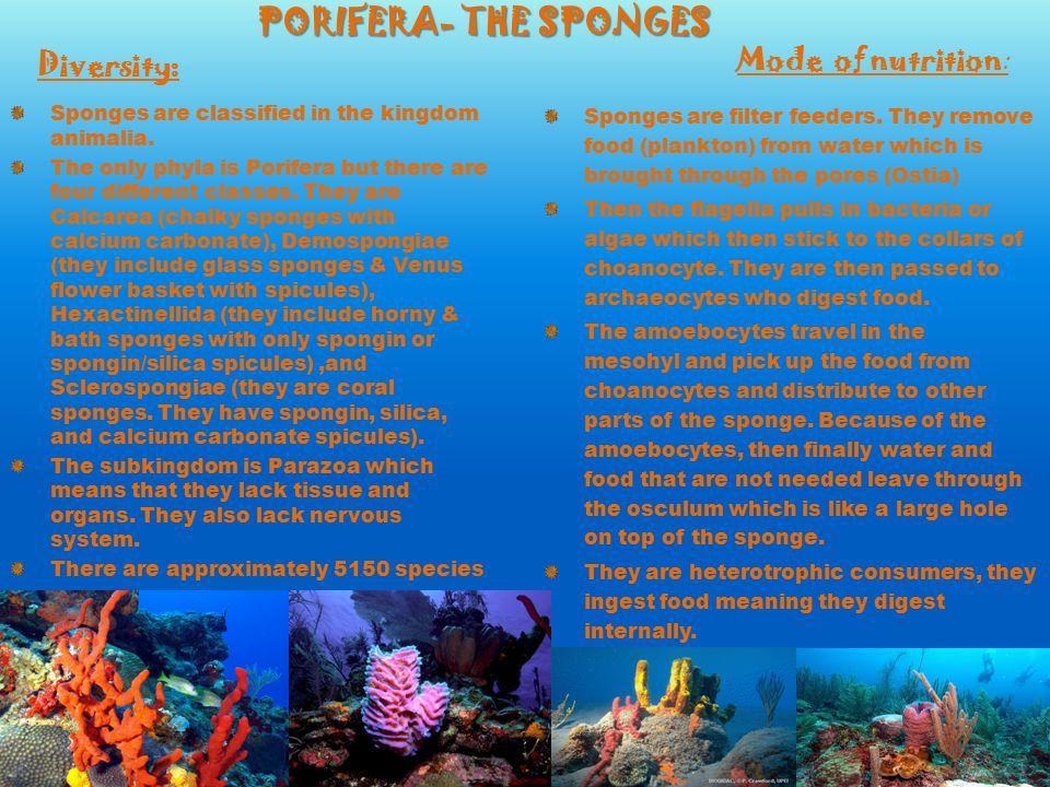 PORIFERA- THE SPONGES Sponges are classified in the kingdom animalia. The only phyla is Porifera but there are four different classes. They are Calcar