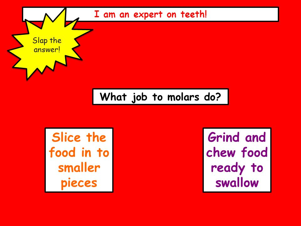 I am an expert on teeth! Slap the answer! What job to molars do? Slice the food in to smaller pieces Grind and chew food ready to swallow