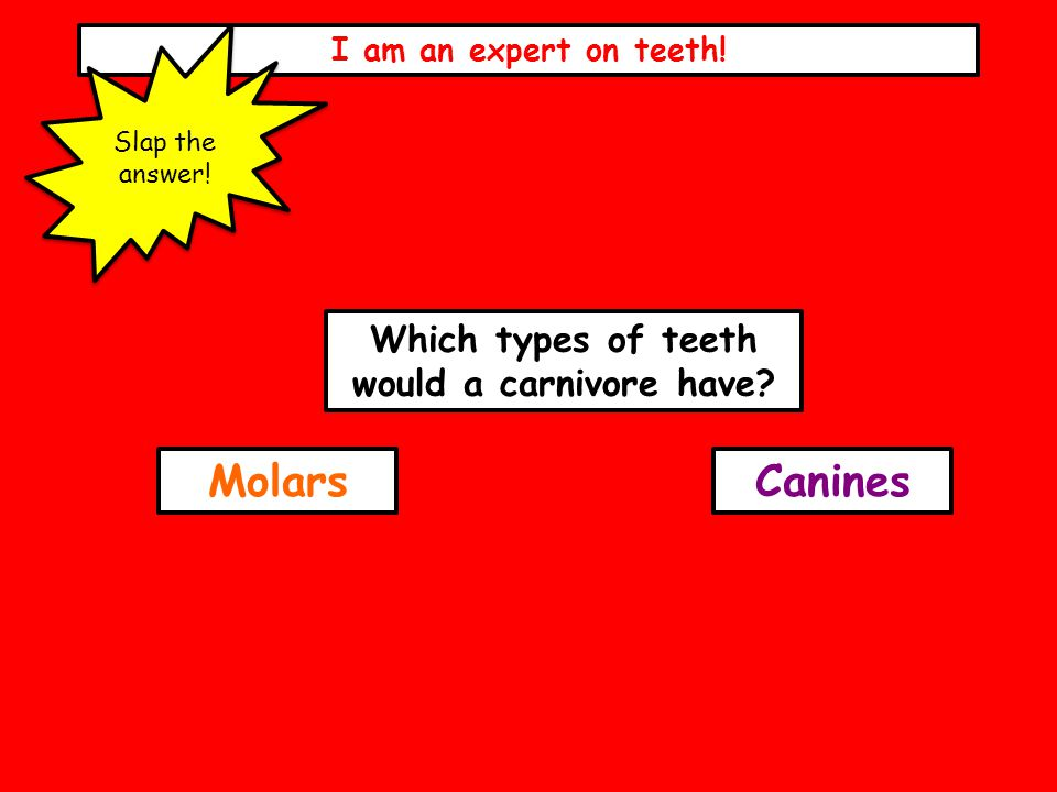 I am an expert on teeth! Slap the answer! Which types of teeth would a carnivore have? MolarsCanines