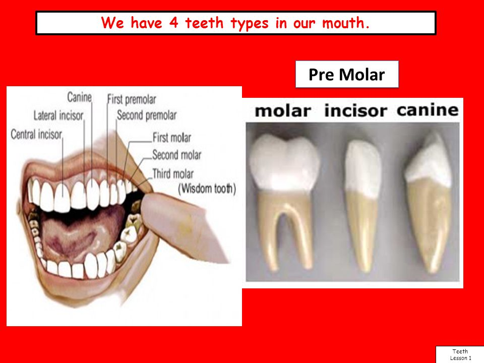 We have 4 teeth types in our mouth. Teeth Lesson 1 Pre Molar