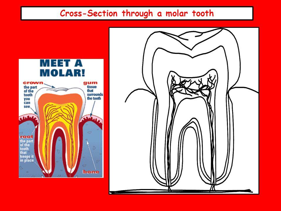 Cross-Section through a molar tooth