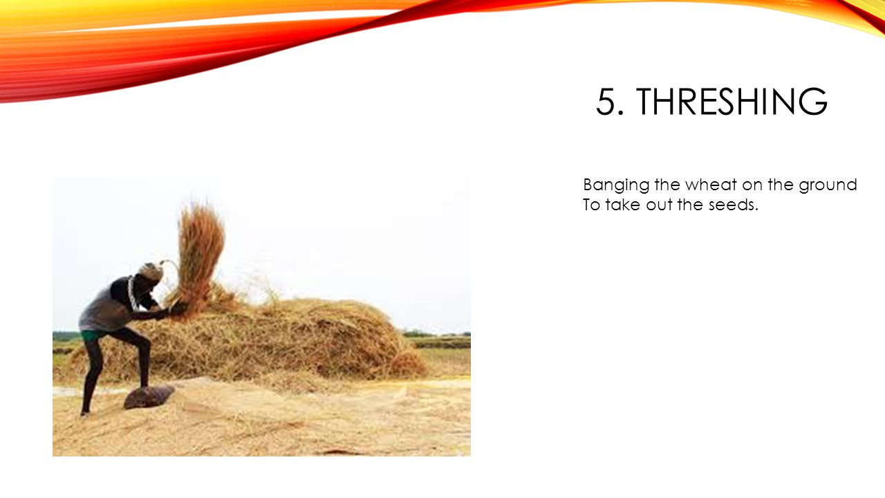 5. THRESHING Banging the wheat on the ground To take out the seeds.