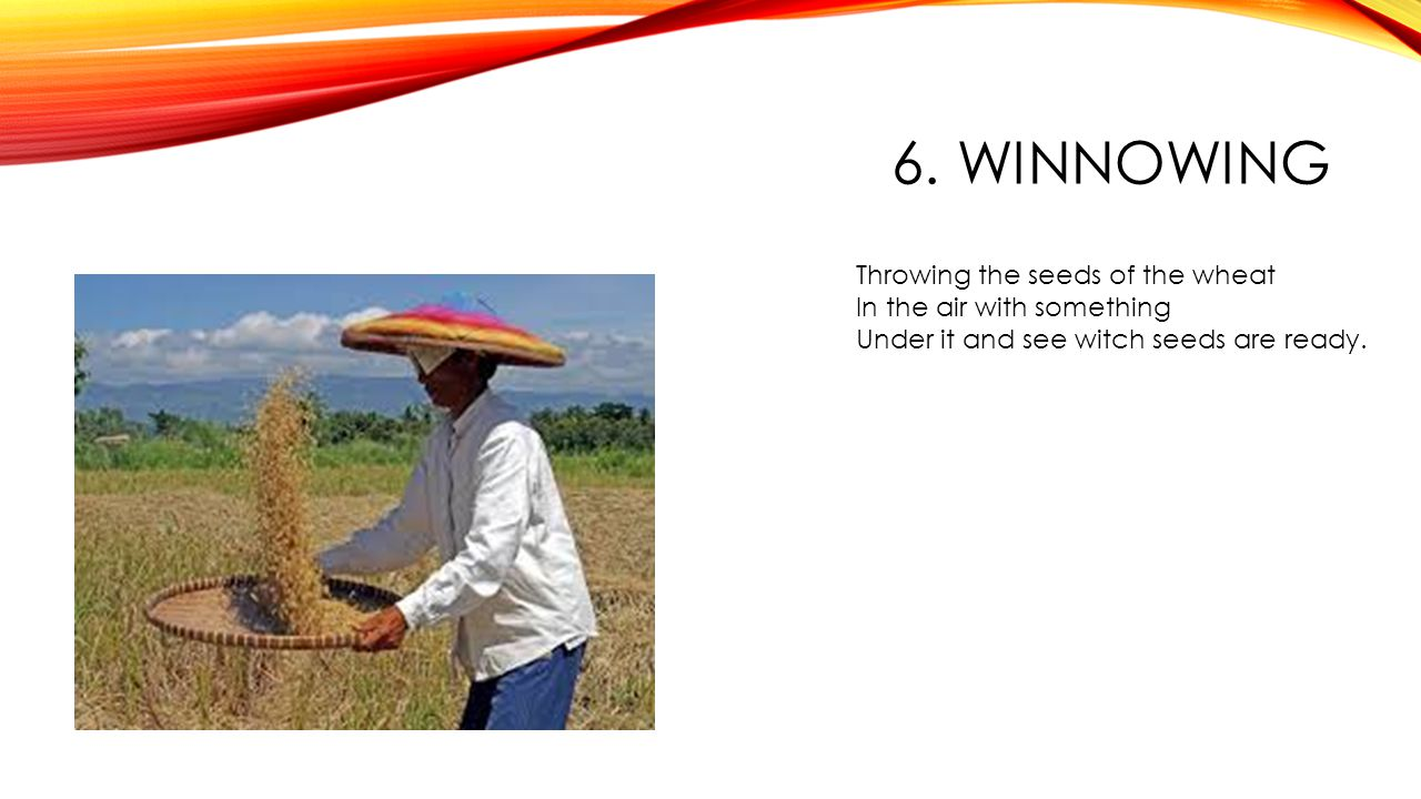 6. WINNOWING Throwing the seeds of the wheat In the air with something Under it and see witch seeds are ready.