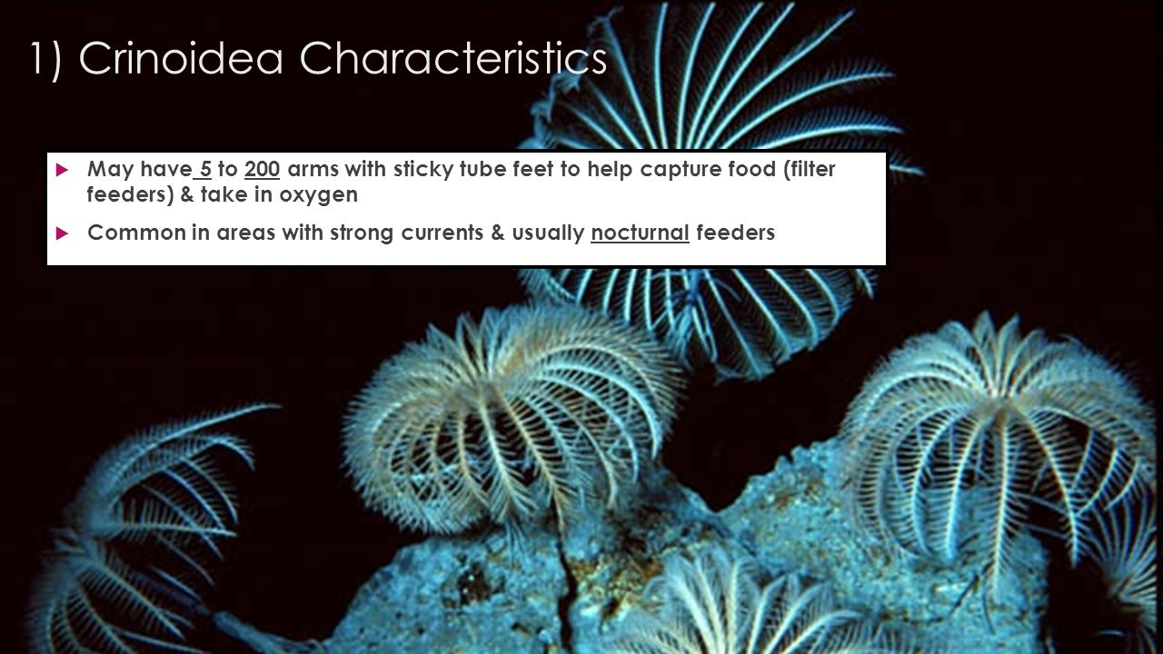 1) Crinoidea Characteristics  May have 5 to 200 arms with sticky tube feet to help capture food (filter feeders) & take in oxygen  Common in areas with strong currents & usually nocturnal feeders