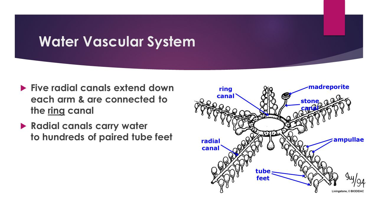 Water Vascular System  Five radial canals extend down each arm & are connected to the ring canal  Radial canals carry water to hundreds of paired tube feet