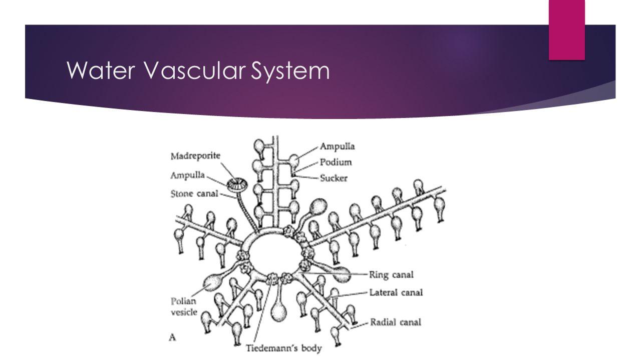 Water Vascular System