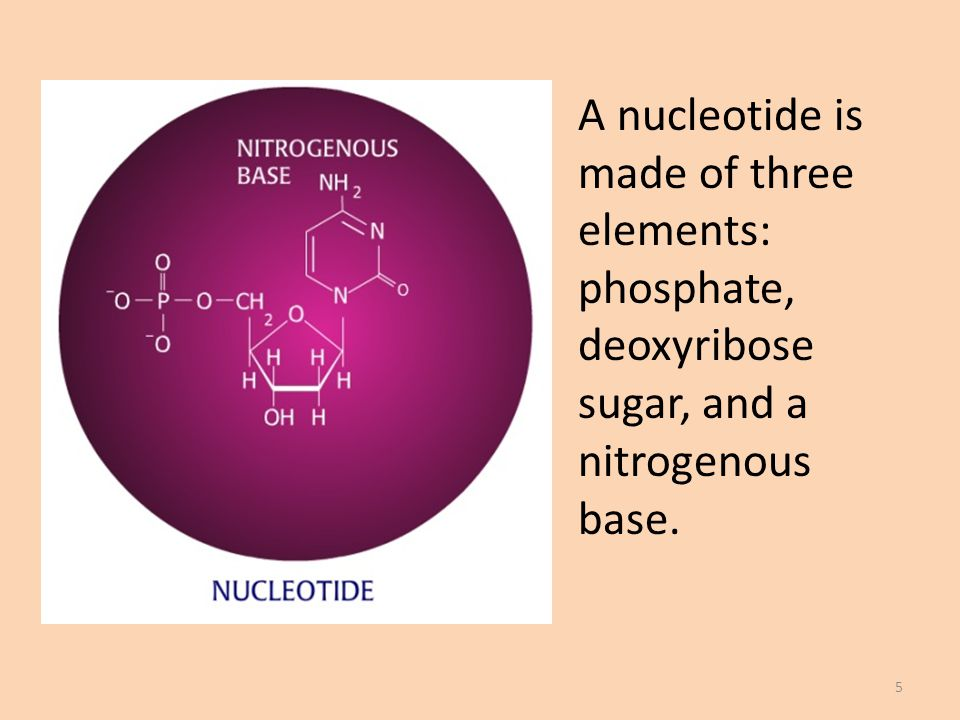 A nucleotide is made of three elements: phosphate, deoxyribose sugar, and a nitrogenous base. 5