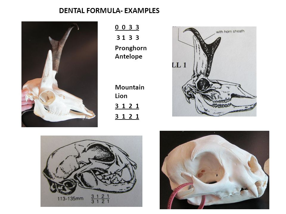 DENTAL FORMULA- EXAMPLES 0 0 3 3 3 1 3 3 Pronghorn Antelope Mountain Lion 3 1 2 1