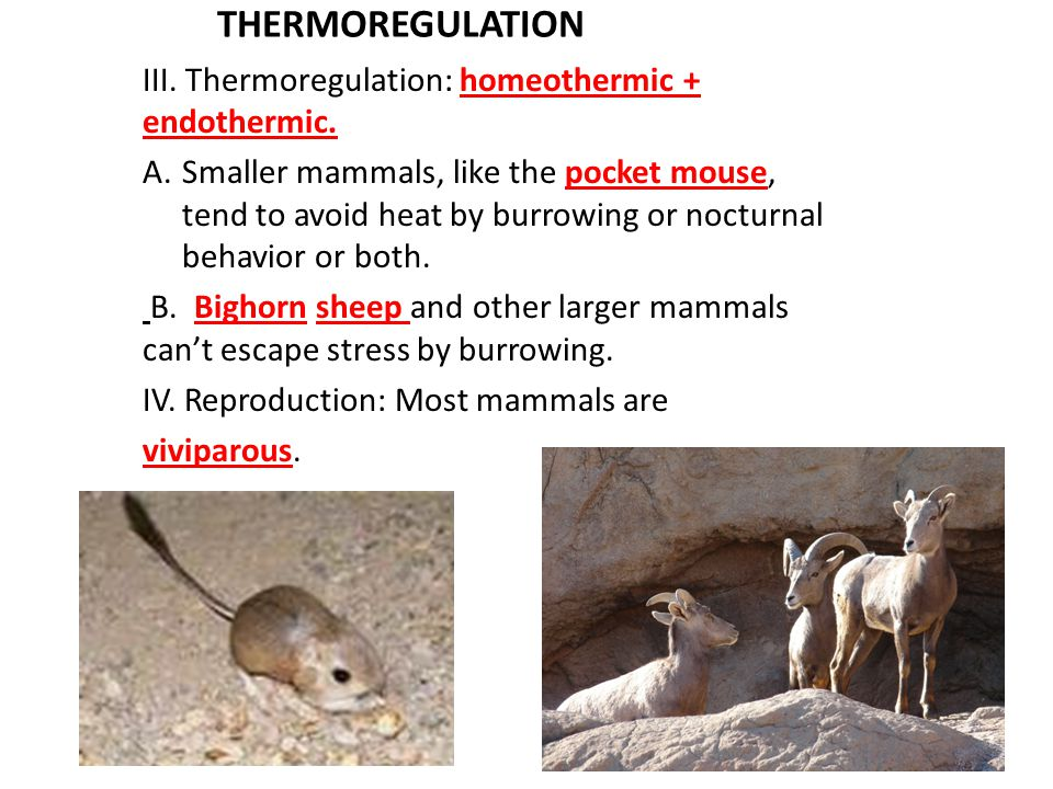 THERMOREGULATION III. Thermoregulation: homeothermic + endothermic.