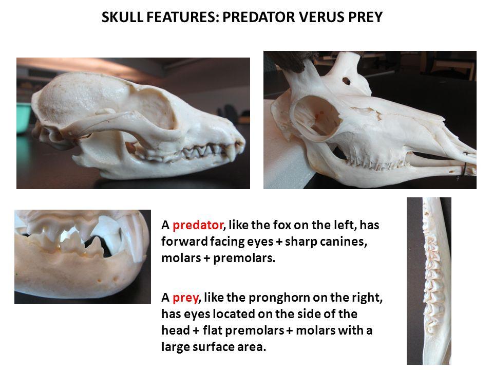 SKULL FEATURES: PREDATOR VERUS PREY A predator, like the fox on the left, has forward facing eyes + sharp canines, molars + premolars. A prey, like th