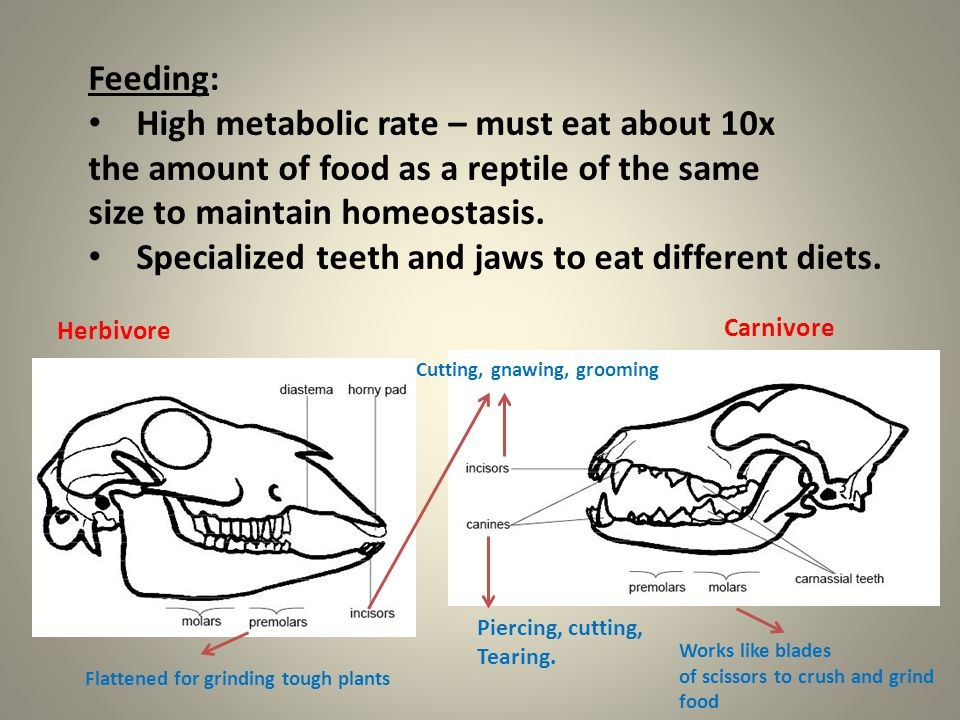 Feeding: High metabolic rate – must eat about 10x the amount of food as a reptile of the same size to maintain homeostasis. Specialized teeth and jaws