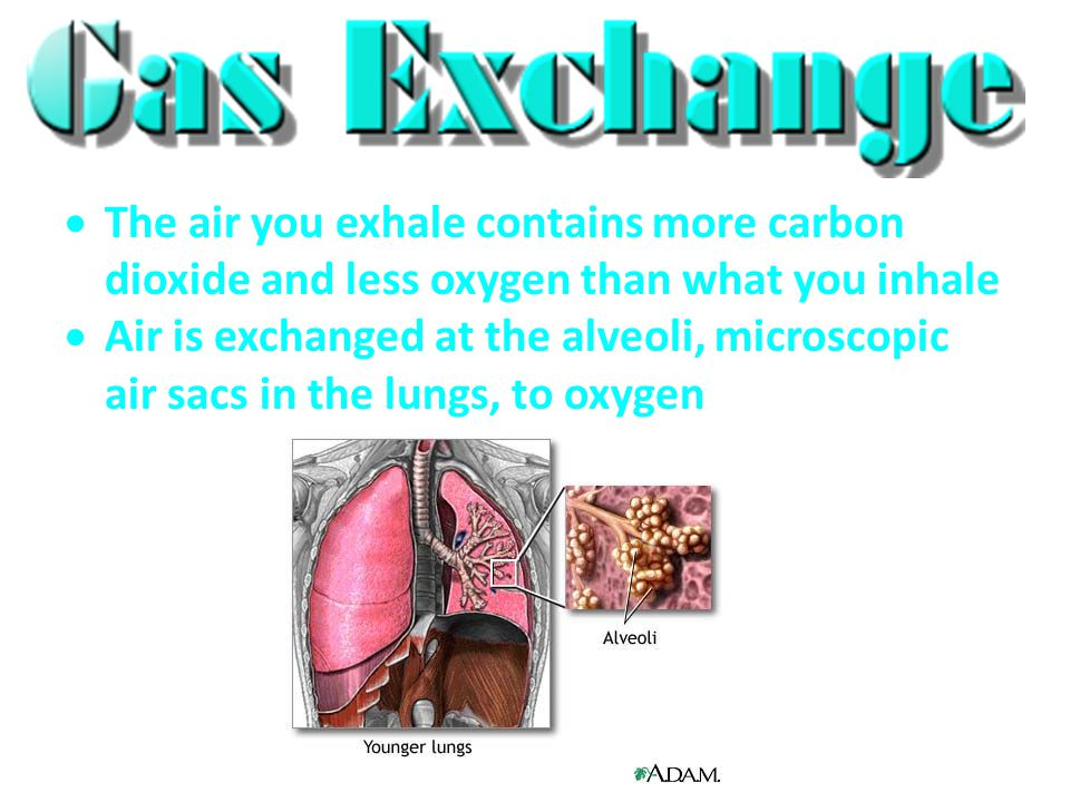  The air you exhale contains more carbon dioxide and less oxygen than what you inhale  Air is exchanged at the alveoli, microscopic air sacs in the lungs, to oxygen