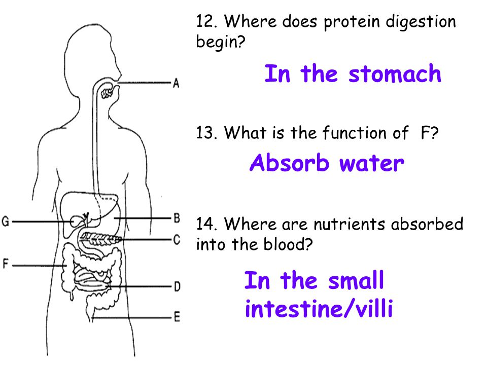 12. Where does protein digestion begin? 13. What is the function of F? 14. Where are nutrients absorbed into the blood? In the stomach Absorb water In