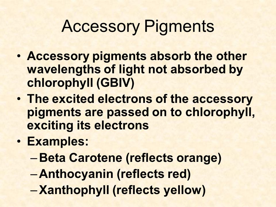Accessory Pigments Accessory pigments absorb the other wavelengths of light not absorbed by chlorophyll (GBIV) The excited electrons of the accessory pigments are passed on to chlorophyll, exciting its electrons Examples: –Beta Carotene (reflects orange) –Anthocyanin (reflects red) –Xanthophyll (reflects yellow)