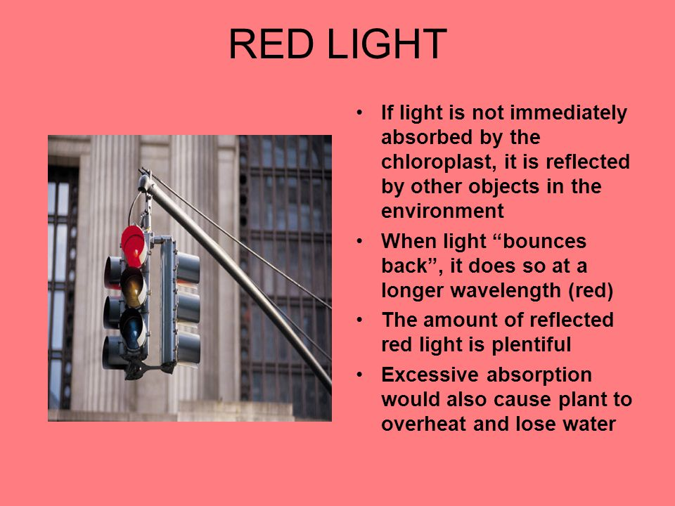 RED LIGHT If light is not immediately absorbed by the chloroplast, it is reflected by other objects in the environment When light bounces back , it does so at a longer wavelength (red) The amount of reflected red light is plentiful Excessive absorption would also cause plant to overheat and lose water