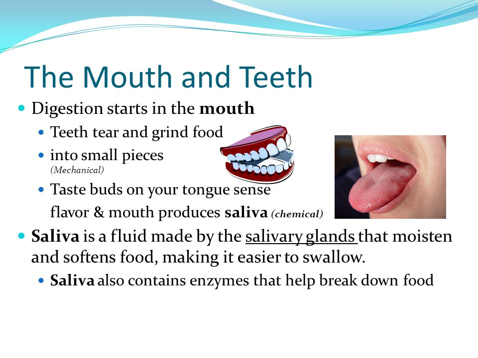 The Mouth and Teeth Digestion starts in the mouth Teeth tear and grind food into small pieces (Mechanical) Taste buds on your tongue sense flavor & mo