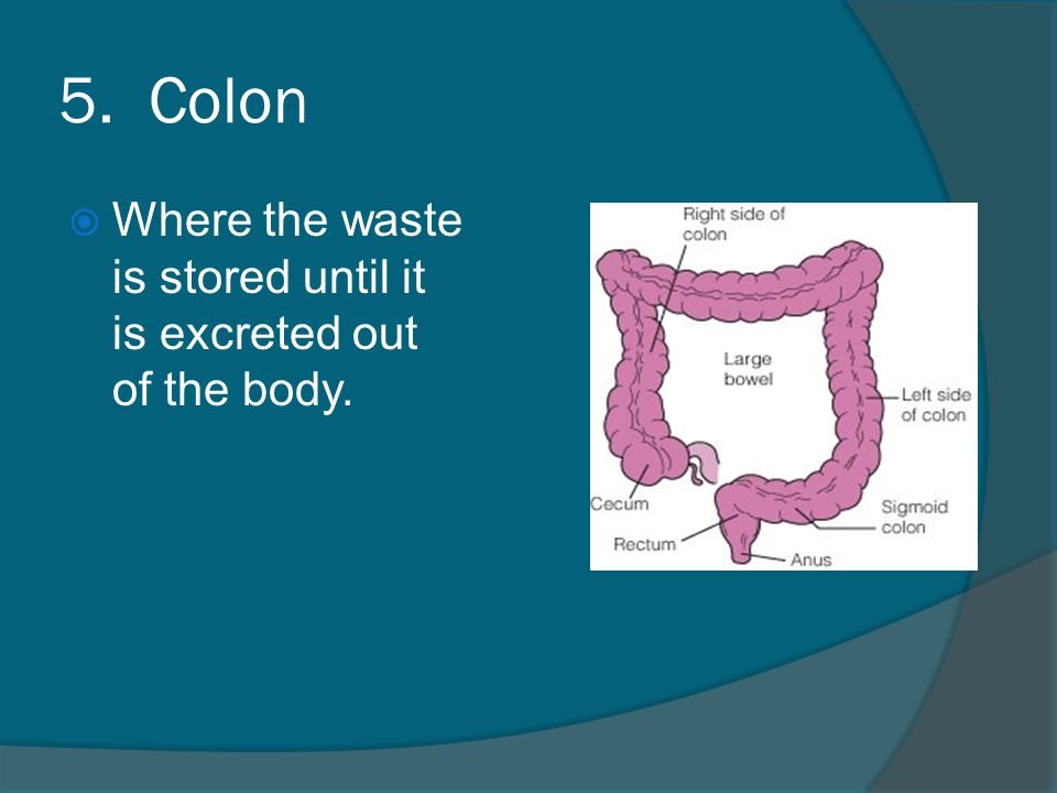 5. Colon  Where the waste is stored until it is excreted out of the body.