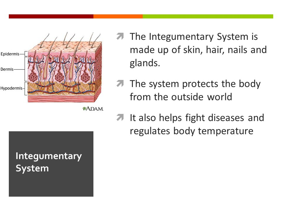  The Integumentary System is made up of skin, hair, nails and glands.  The system protects the body from the outside world  It also helps fight dis