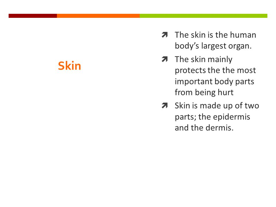 Skin  The skin is the human body's largest organ.  The skin mainly protects the the most important body parts from being hurt  Skin is made up of t