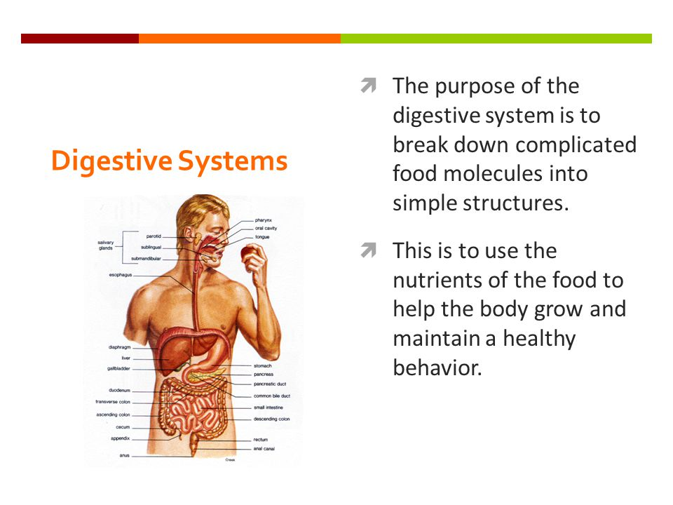 Digestive Systems  The purpose of the digestive system is to break down complicated food molecules into simple structures.  This is to use the nutri