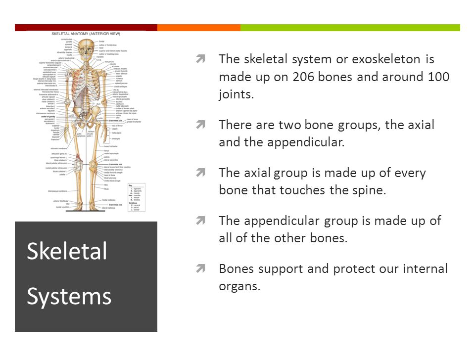  The skeletal system or exoskeleton is made up on 206 bones and around 100 joints.
