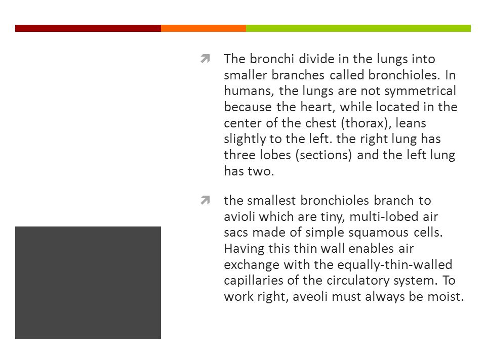  The bronchi divide in the lungs into smaller branches called bronchioles.
