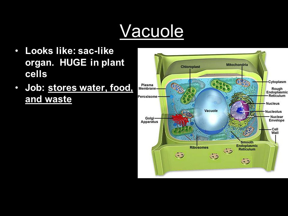 Vacuole Looks like: sac-like organ. HUGE in plant cells Job: stores water, food, and waste
